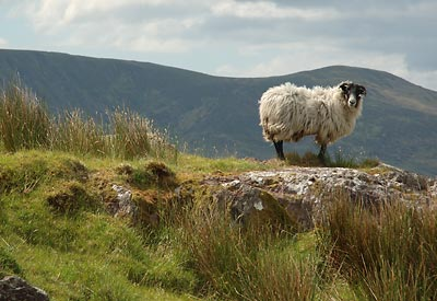 Sheep on the Ridge at Glanbeg, County Kerry