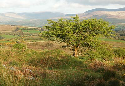 Hawthorn Tree near Gowlane, County Kerry