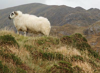 A sheep on the Lack Road above Bridia Valley, County Kerry