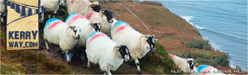 Sheep at Drung Hill on the Kerry Way